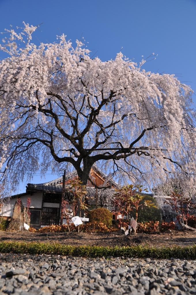 本満寺のしだれ桜。前日とは別の角度から
