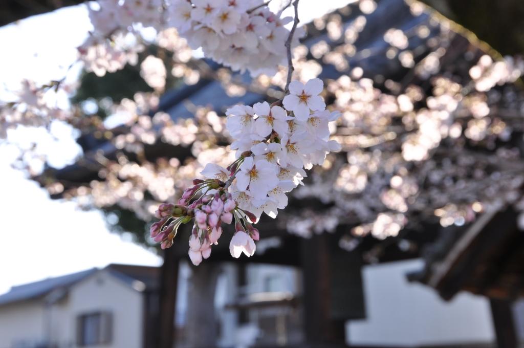 本満寺の染井吉野。「地域の誇りの木」らしい。