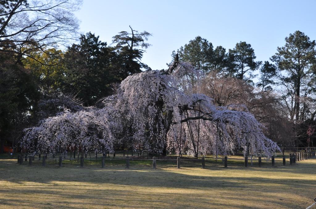 上鴨神社のおおきな桜